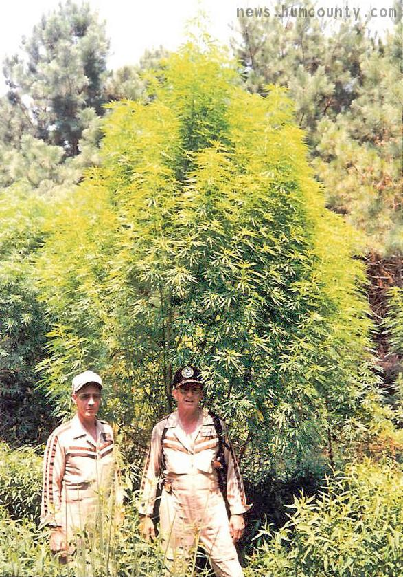massive cannabis tree