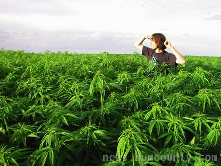 Field of Pot in California